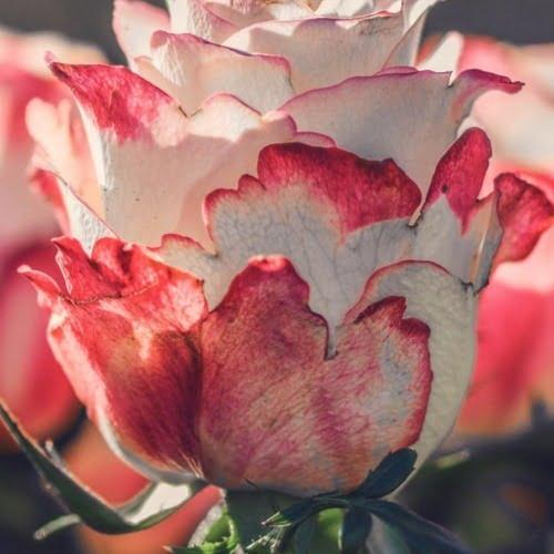 rosas e skincare