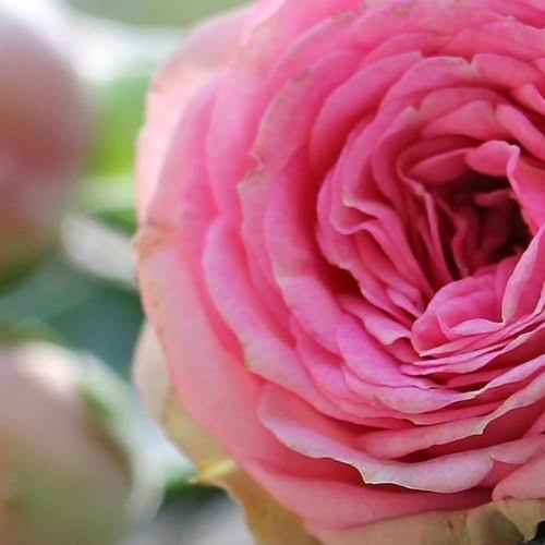 água de rosas orgânica